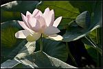 Lotus 02