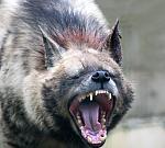 la hyene en colère 2 jpeg