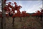 Vigne rouge 02