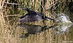 cormoran laguna Lobos 1