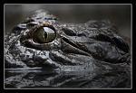 Crocodile by pmllc