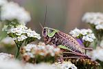 Profil d'une sauterelle