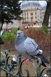 Pigeons 01